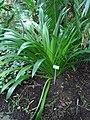 Hymenocallis speciosa (BG Zurich)-02.JPG