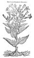 Hyoscyami Peruviani altera icon 449 Dodoens 1583.png