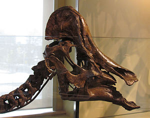 Hypacrosaurus - H. altispinus skull and neck