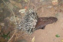 Malayan Porcupine - Wikipedia, the free encyclopedia