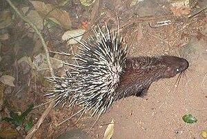 Malayan porcupine - Image: Hystrix brachyura