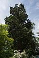 ID 609 Sequoiadendron bei Schloß Altenberg 0001 1.jpg