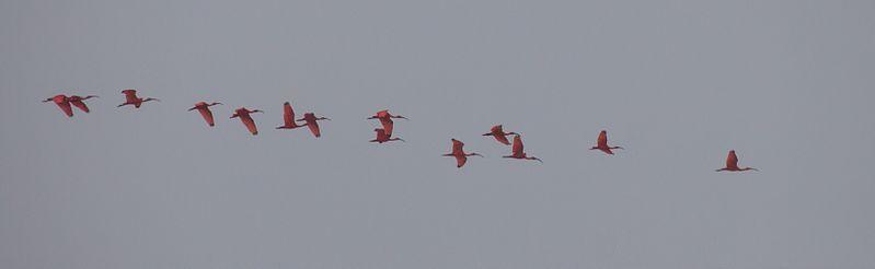 File:Ibis in flight.jpg