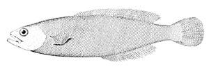 Medusafish - Medusafish, Icichthys lockingtoni
