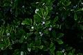 Ilex glabra flowers 8601.JPG