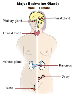 Endocrine system system of glands of an organism that secrete hormones directly into the circulatory system to be carried towards distant target organs