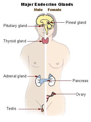 Illu endocrine system New