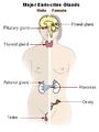 Illu endocrine system New.png