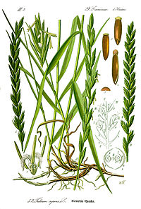 Illustration Elytrigia repens1.jpg