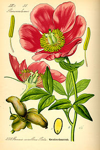Illustration Paeonia mascula0