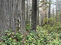 In the redwoods (21921054442).jpg