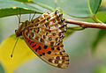Indian Fritillary hanging on to a leaf.jpg