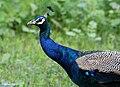 Indian Peacock I IMG 9655.jpg