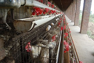 Battery cage - A simple battery cage system with no conveyors for feed or eggs