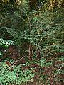 Indigofera micrantha, habitus, Krantzkloof NR.jpg