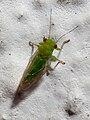 Insecto en Bastavaliños, Bastavales, Brión, Galiza 2.jpg