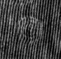 Interferogram of blood erythrocyte.jpg