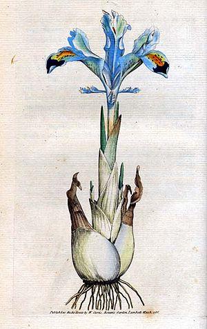 Curtis's Botanical Magazine - Iris persica (Sowerby)