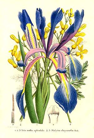 Iris notha - Hand-coloured lithograph by G. Severeyns, of (Iris spuria subsp. notha) - Iris notha and (Ehrendorferia chrysantha) - Dicentra chrysantha. Published in 'La Belgique horticole, journal des jardins et des vergers' of 1853