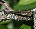 Ischnura elegans (Blue-tailed damselfly) - teneral - Flickr - S. Rae.jpg
