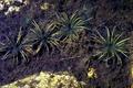 Isoetes echinospora NRCS-1.png