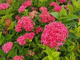 Ixora wikipedia la enciclopedia libre for Plantas ornamentales wikipedia