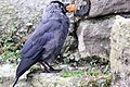 Jackdaw - Beaumaris Castle Anglesey August 2009 (3833786069).jpg