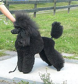 Image Result For Standard Poodle Puppies
