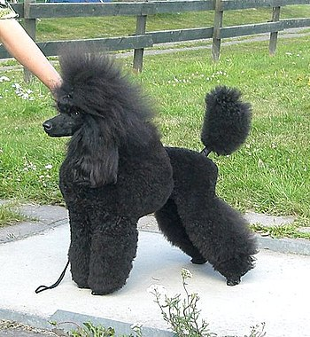 English: A medium sized poodle in Scandinavian...