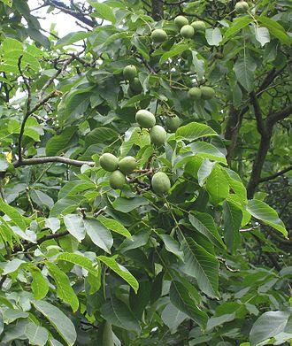 Juglandaceae - Juglans regia