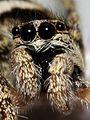 Jumping Zebra Spider (Salticus scenicus) (2817445800).jpg