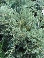 Juniperus chinensis Pfitz Glauca 0zz.jpg