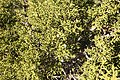 Juniperus osteosperma (29574269530).jpg
