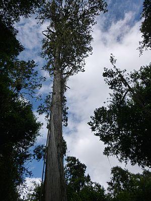 Juniperus procera - Image: Juniperus procera 3