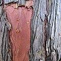 Juniperus virginiana bark, Belgrade.jpg