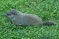 Juvenile Groundhog (7416140252).jpg