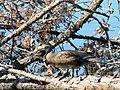 Juvenile wood duck (6846827931).jpg