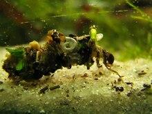 File:Köcherfliegenlarve - Caddisfly larva (Trichoptera).ogv