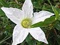 K.Pudur Village Five Star Flower.jpg