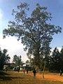 KHANGABOK, OLD BANYAN TREE AT MAISNAM LEIKAI.jpg