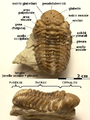 Kainops invius morphology IT.png