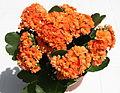 Kalanchoe blossfeldiana (forme horticole à fleurs doubles) - 1.jpg