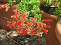 Keckiella cordifolia (9344381124).jpg