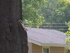 Kenton, Tennessee - Albino squirrel in Kenton, TN