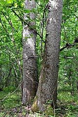 Kivertsi Volynska-Forest area-1 nature monument-Quercus double tree-1.jpg