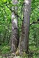 Kivertsi Volynska-Forest area-1 nature monument-Quercus double tree-1.jpg
