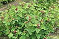 Kluse - Chenopodium giganteum - Magentaspreen 10 ies.jpg