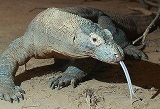 Komodo dragon species of reptile