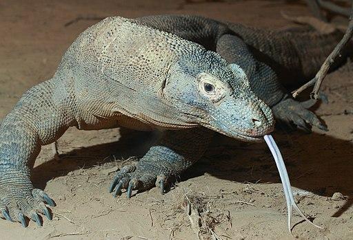 Komodo dragon with tongue