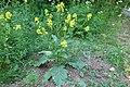 Korina 2015-06-12 Brassica nigra 3.jpg
